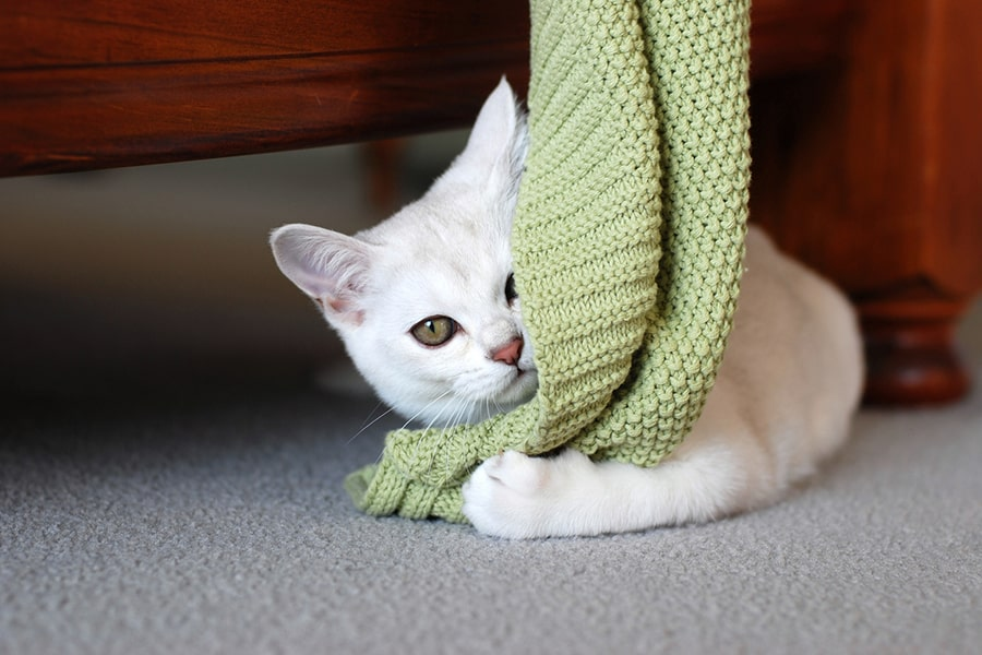 white Burmilla kitten with green eyes on playing with a green blanket while lying on the floor