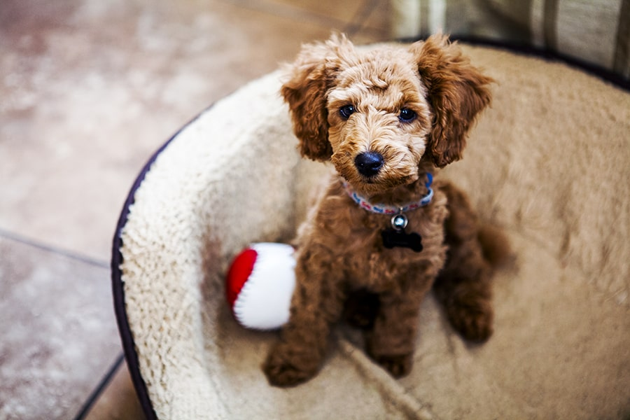red toy poodle puppy sitting in a tan dog bed with a red and white ball