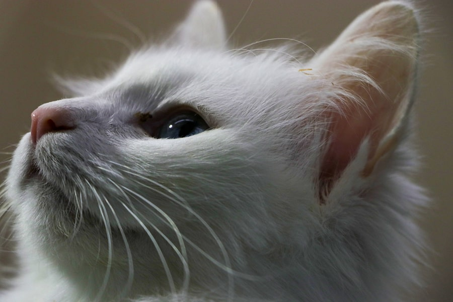 white Turkish van cat with a blue eye looking up and to the right
