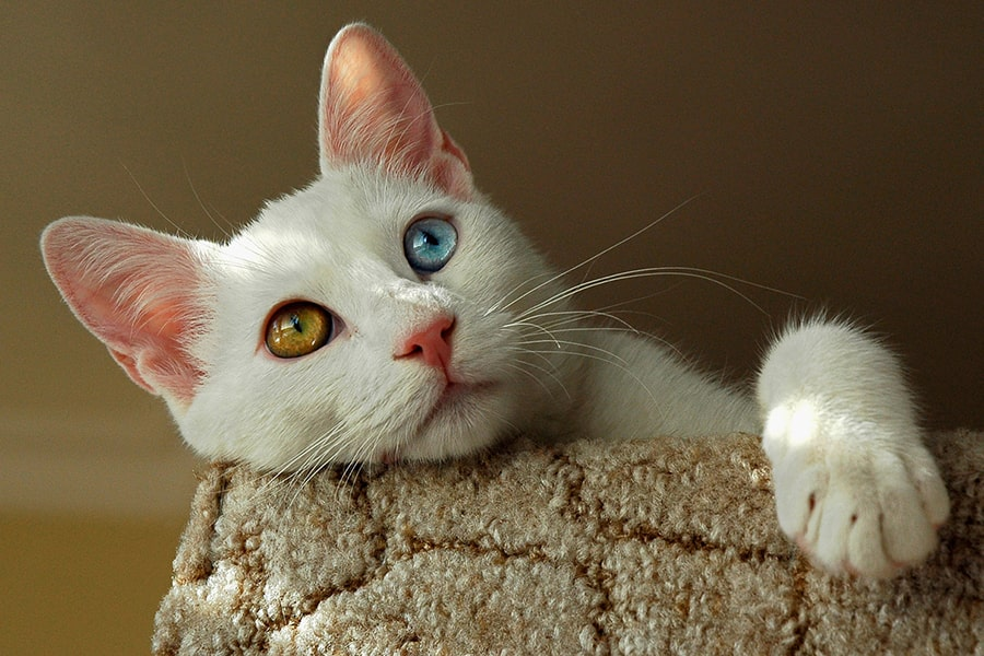white Turkish van cat with one amber eye and one blue eye resting atop a cat tree