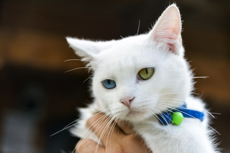 white Turkish van cat with one green eye and one blue eye and blue collar being held by a human