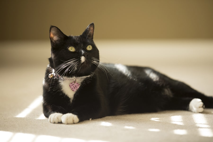 black and white cat with pink collar and tag lying on a white carpet