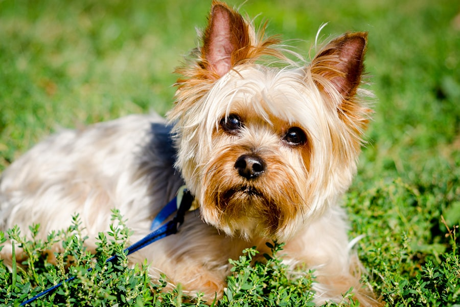 Yorkshire terrier outside on a blue leash