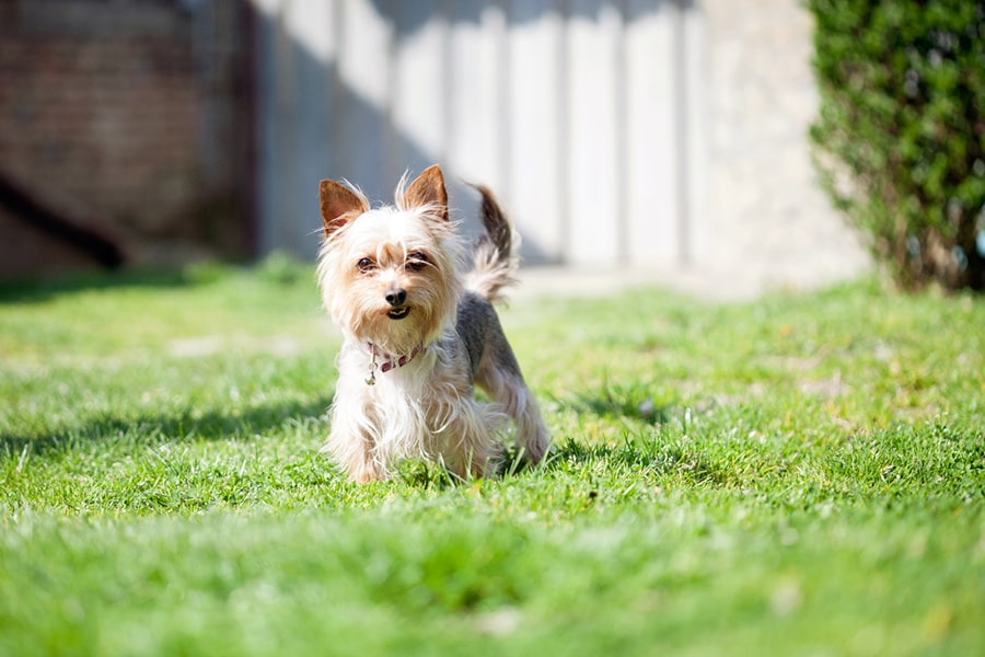 Yorkshire terrier with a red collar and tag standing in a backyard