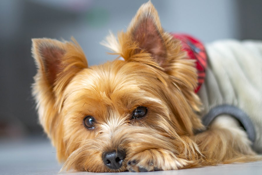 yorkie with a tan coat and red scarf lying on the floor