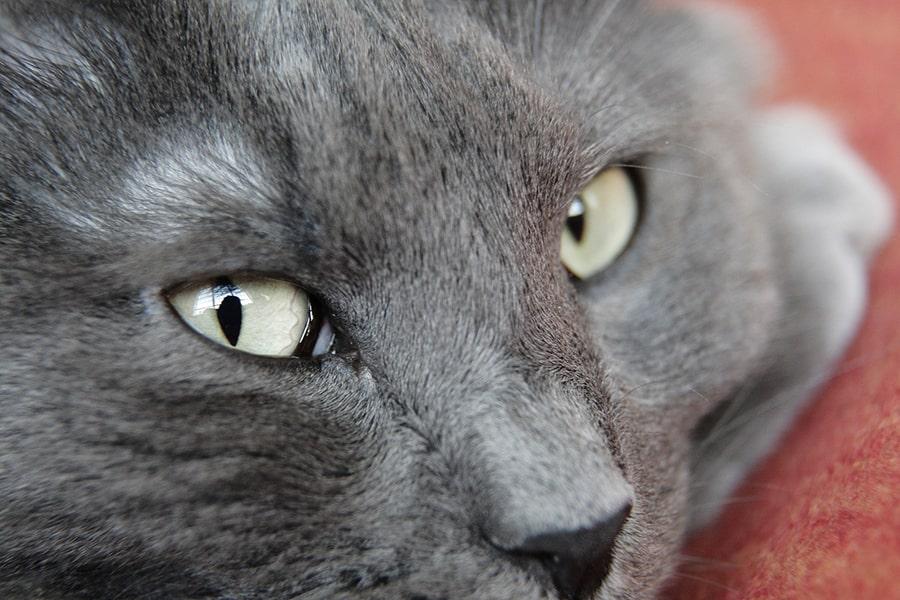 nebelung cat face closeup