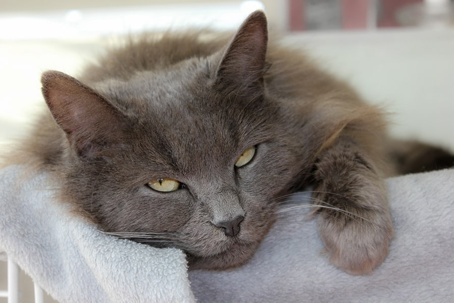 nebelung cat lying down on a white blanket about to fall asleep