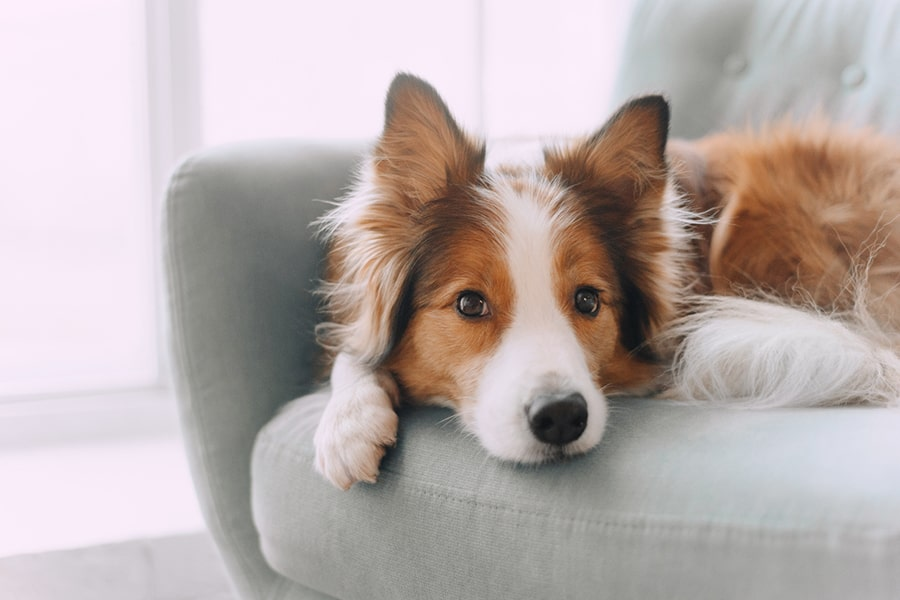 border collie lying on a gray couch