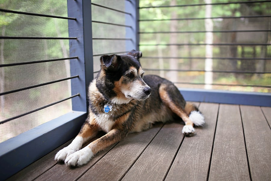 german shepherd dog resting on a porch in the woods
