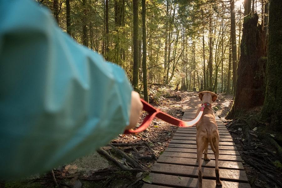 vizsla dog on a walk in the woods