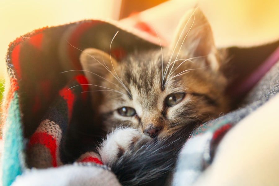 small tabby kitten wrapped in a colorful wool blanket