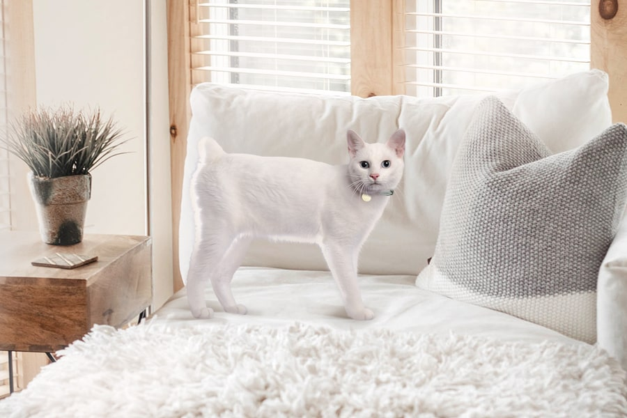 white Japanese bobtail cat on a bed by a window