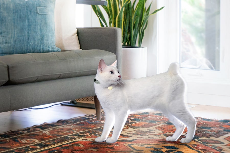 white Japanese bobtail cat on a rug by a gray couch and window