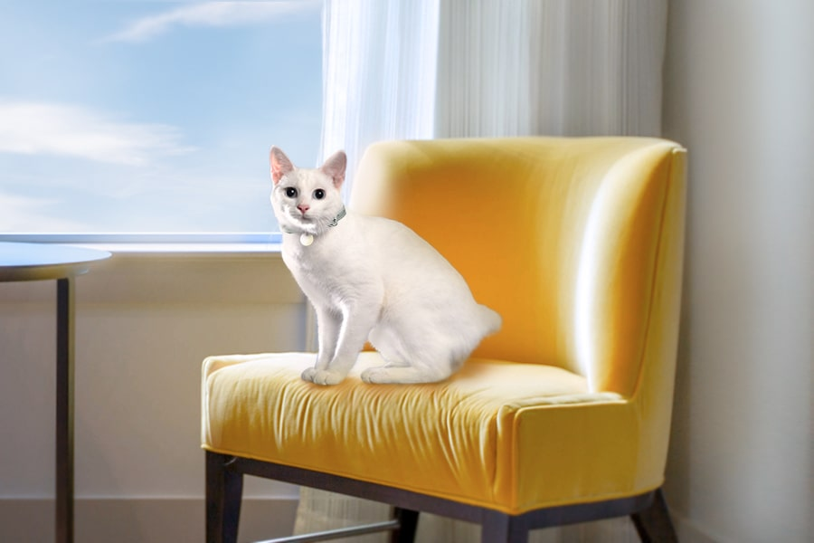 white Japanese bobtail cat sitting in a yellow chair by a window