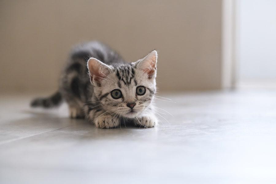 American Shorthair kitten ready to pounce