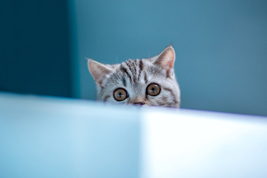 American shorthair cat looking over a white wallt