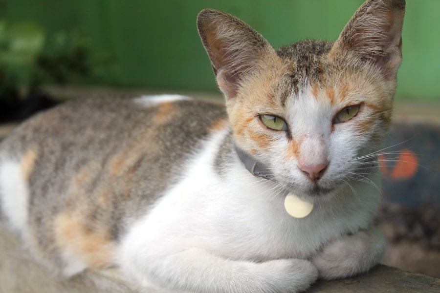 Javanese cat resting atop a tan sofa by a green wall