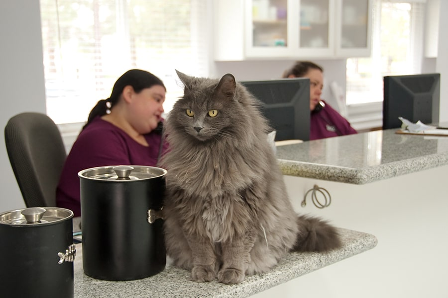 long-haired gray cat at a vet's reception