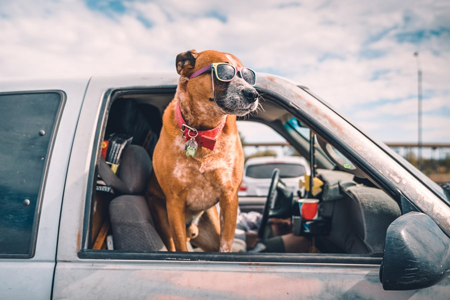 cool dog wearing colorful sunglasses looking out of pick-up truck window on highway