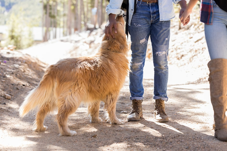 cute golden retriever dog goes hiking with his owners