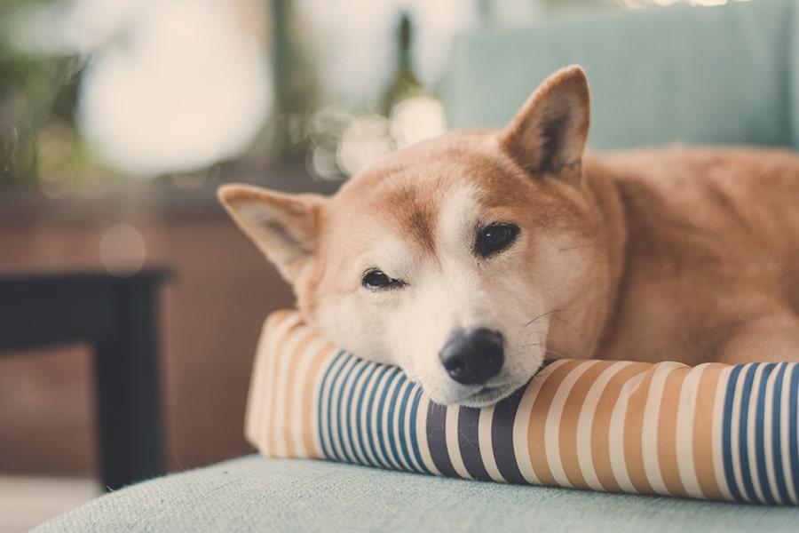 shiba inu sleeping on a striped dog bed