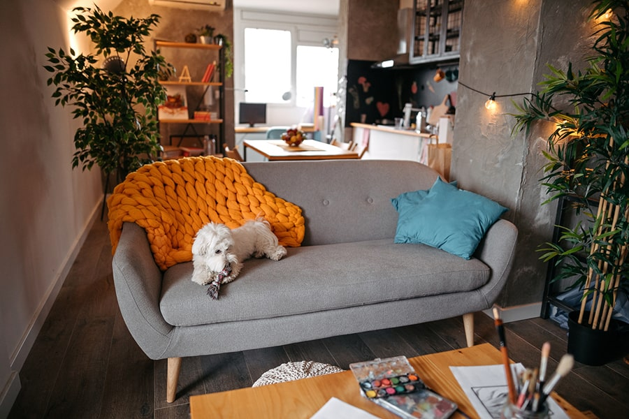 maltese resting on a gray couch in a small apartment