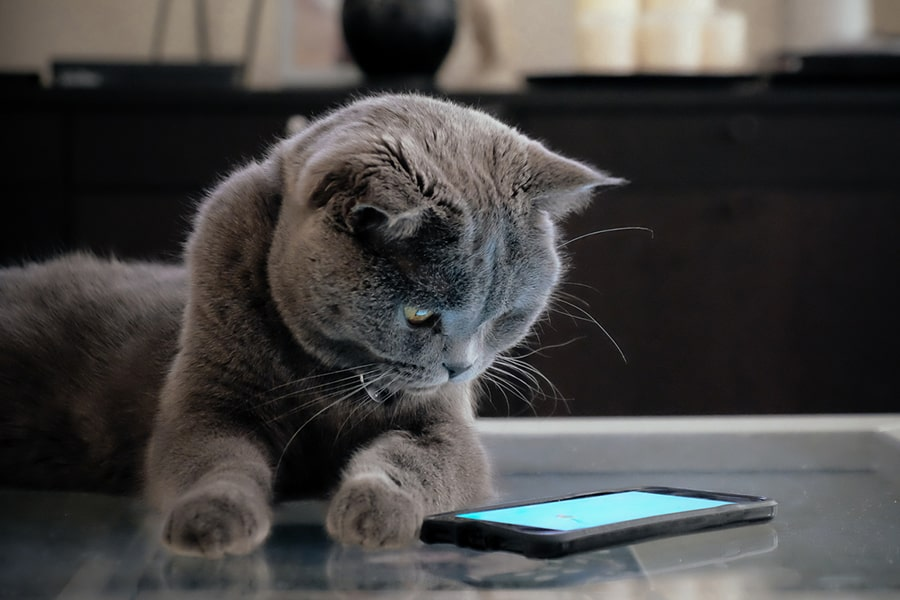 Grey Scottish Fold cat looking curiously at a smartphone screen