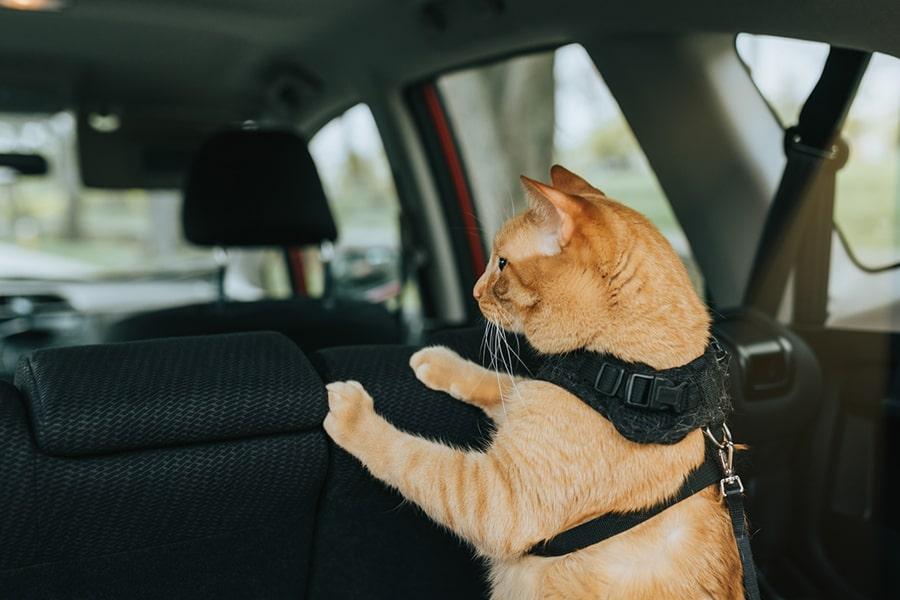 orange cat in a black harness in a car