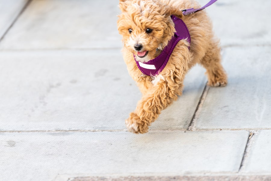 small dog walking on a purple leash