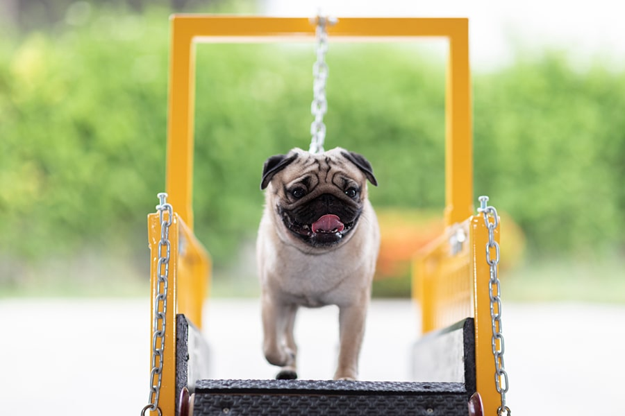 Cute Pug dog running on dog treadmill for exercise diet and health
