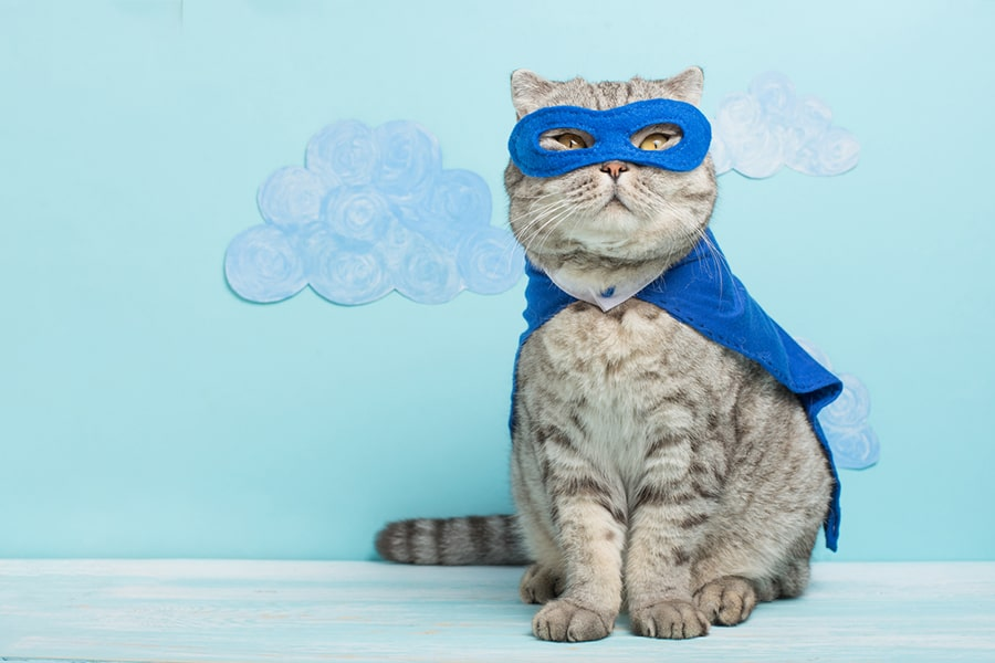 Scottish fold cat dressed like a superhero in a blue mask and cape
