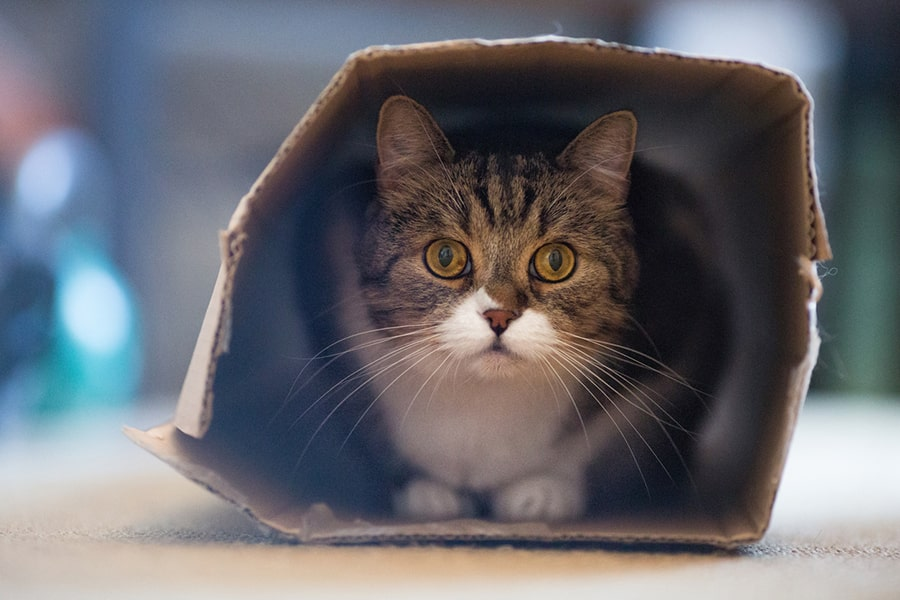 british shorthair cat playing in a cardboard box at home