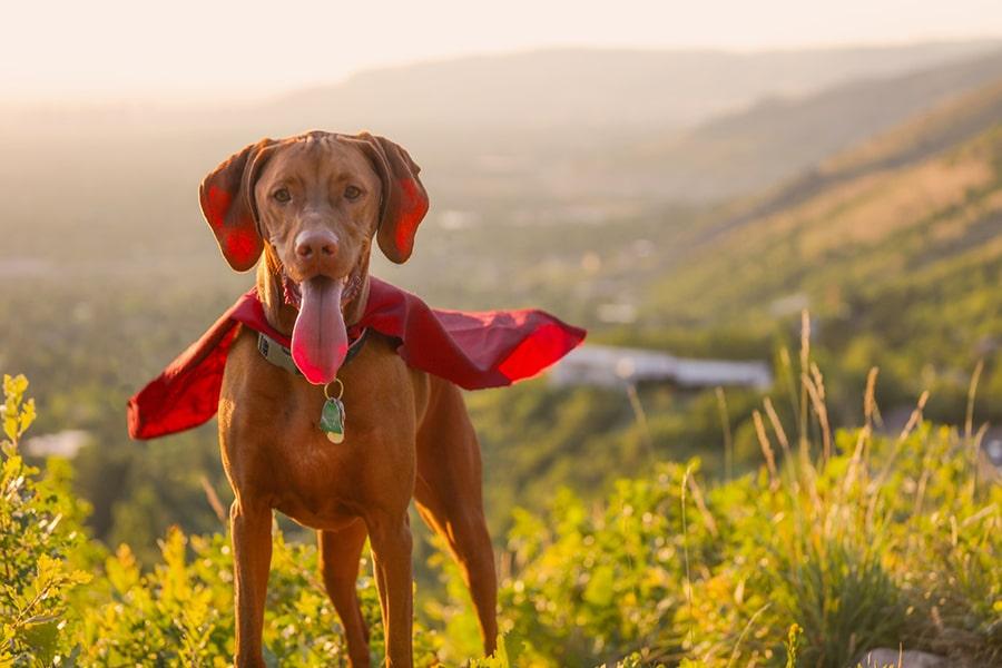 vizsla dog in a red cape smiling on a hillside