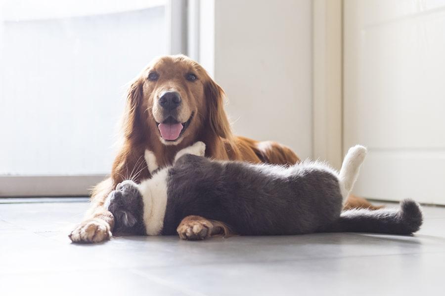 golden retriever and british shorthair cat cuddling on kitchen floor