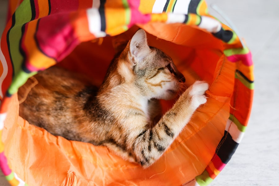 calico kitten playing in an orange toy tunnel at home