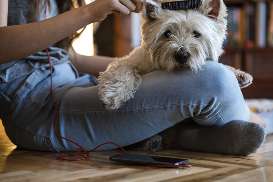 westie being brushed while resting in the lap of a teenage girl in a living room