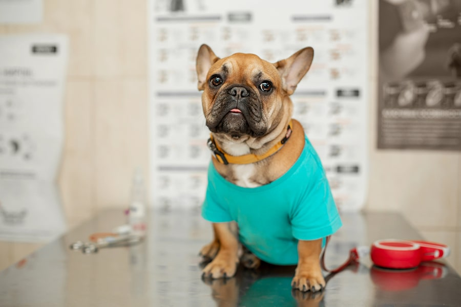 brown French bulldog wearing a teal t-shirt sits on an exam table at the during a veterinarian visit